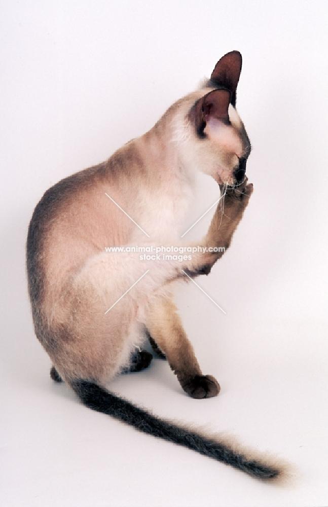 seal point Peterbald cat, grooming