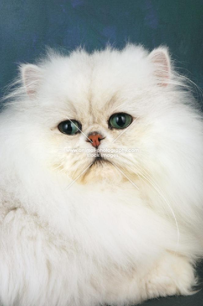 fluffy chinchilla portrait