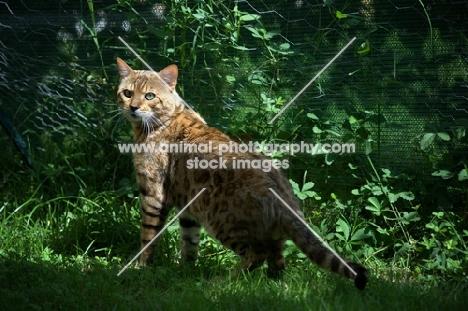 Bengal male cat standing in grass, champion Guru Nuvolari