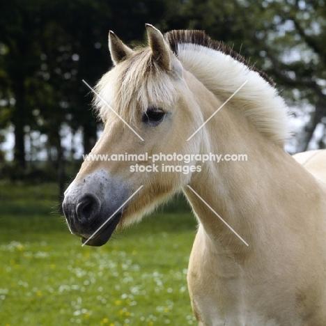 Fjord Pony head study