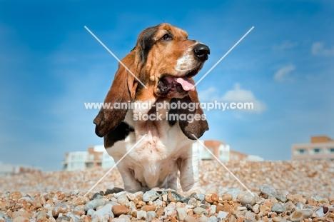 Basset hound standing on pebble beach