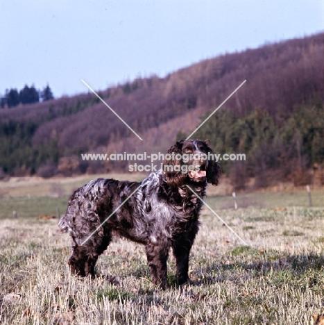 racker von kranichsee , wachtelhund standing on grass watching