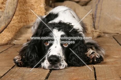 English springer spaniel lying down on wooden floor
