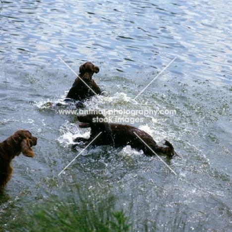 irish setters playing in a lake