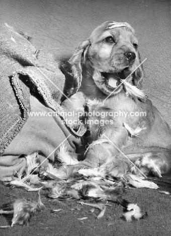 English Cocker Spaniel puppy wrecking pillow