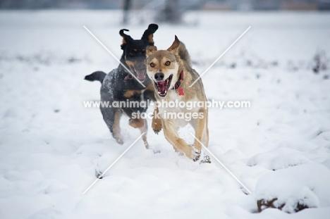 happy czechoslovakian wolfdog cross and dobermann cross running in the snow
