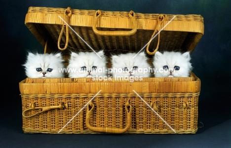 chinchilla kittens in a hamper