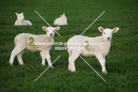 texel cross bred lambs