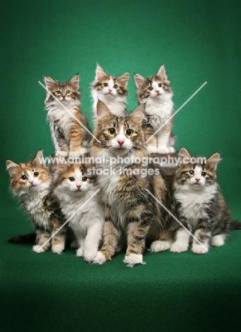 Norwegian Forest Cat mum with kittens