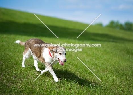 Beagle Mix running down grassy hill.
