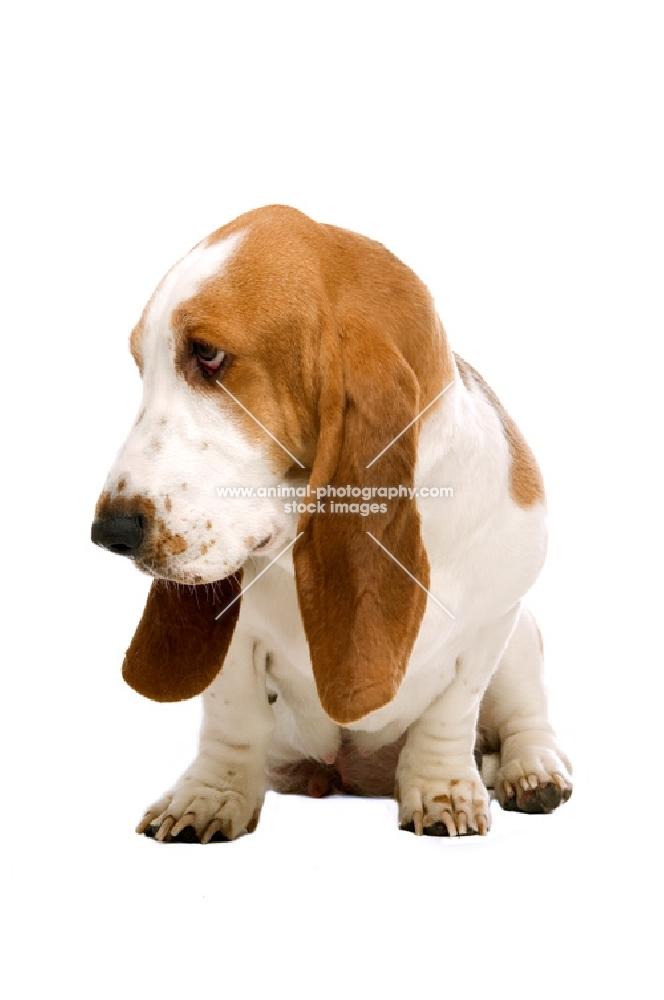 basset hound looking down