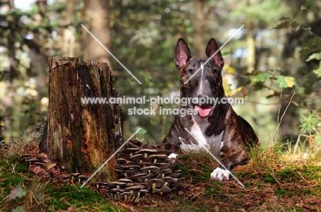 Bull Terrier in forest