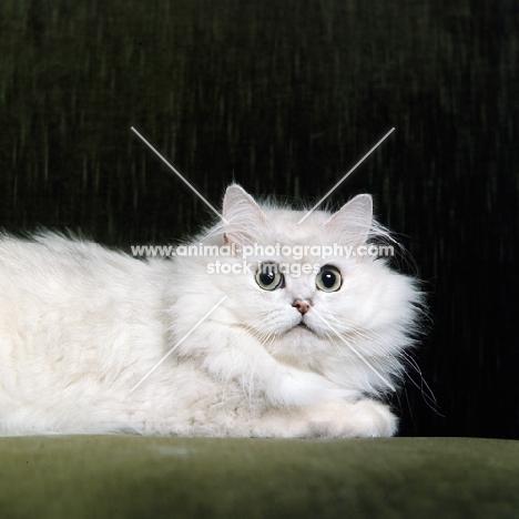 ch shengo eleiza, chinchilla cat observing