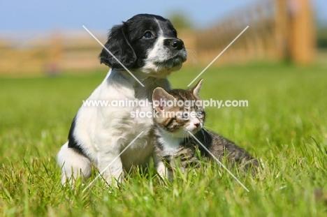English Springer Spaniel and Household Kitten