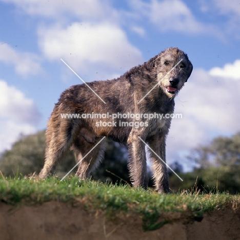 irish wolfhound looking down at camera