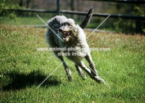 am ch cruachan barbaree olympian, deerhound galloping towards camera