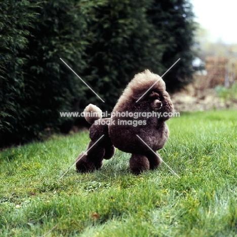 champion brown toy poodle in show trim, ch grayco hazelnut, best in show crufts 1982