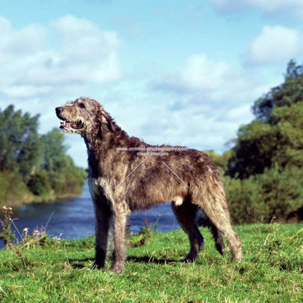 champion irish wolfhound from drakesleat