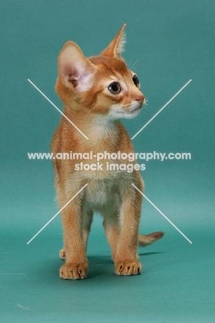 Sorrel (Red) Abyssinian kitten