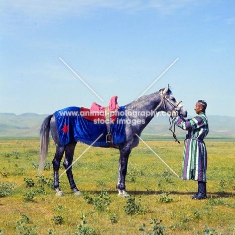 karabair at dzhizak, uzbekistan, standing, saddled with handler in traditional clothing