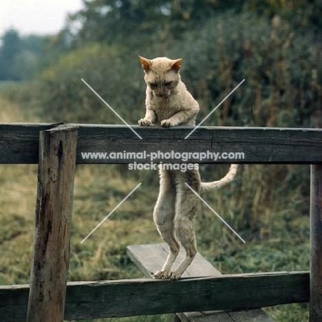 ch lohteyn golden peach, cornish rex cat climbing over a stile