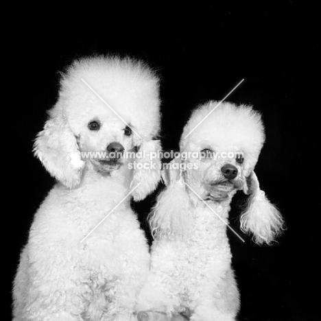 two miniature poodles in pet clip