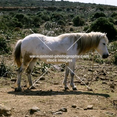 skyros pony mare with rope around her neck on skyros island, greece