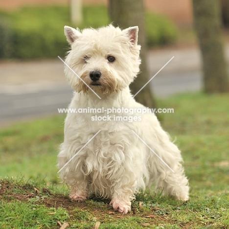 West Highland White dog outside