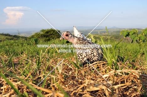 silver Sebright Bantam hen in countryside