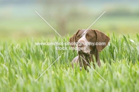 German Shorthaired Pointer in high grass