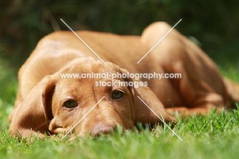 Hungarian Vizsla puppy lying down