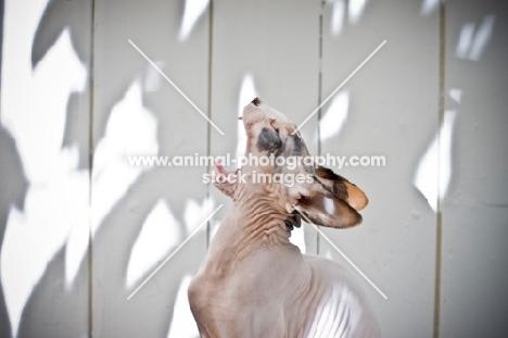 sphynx cat yawning