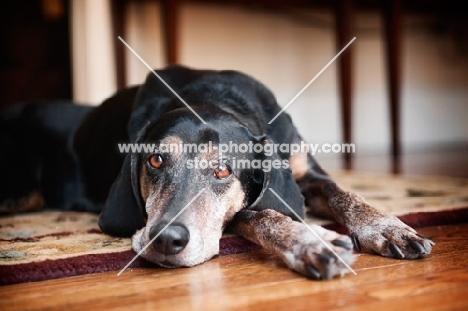hound mixed breed