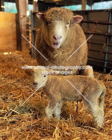 poll dorset ewe and lamb in barn