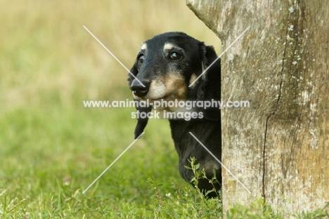 Miniature Dachshund behind tree