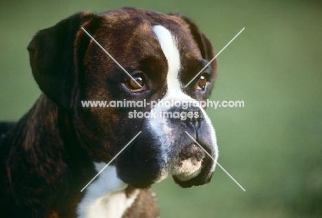 boxer, portrait, from skelder kennels