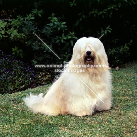 champion tibetan terrier sitting