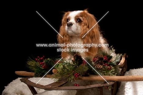 cavalier king charles spaniel at christmas time