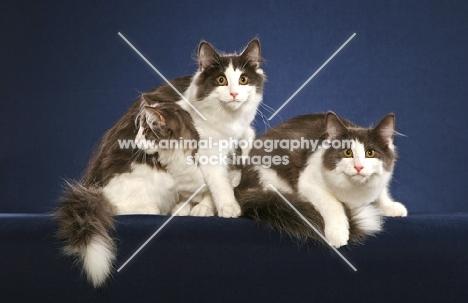 three Norwegian Forest Cats