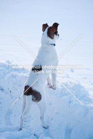Jack Russell Terrier in snowy field, back view