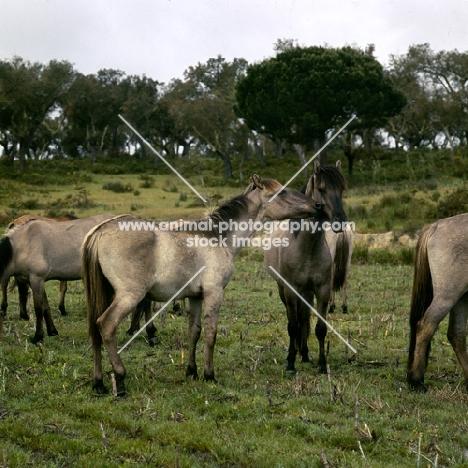 sorraia ponies in portugal nuzzling