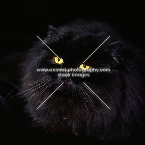 champion long hair black cat