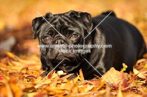 black pug in autumn leaves