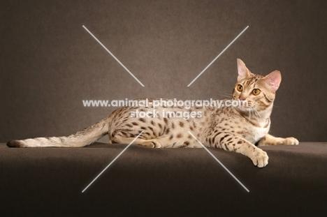 Ocicat lying down