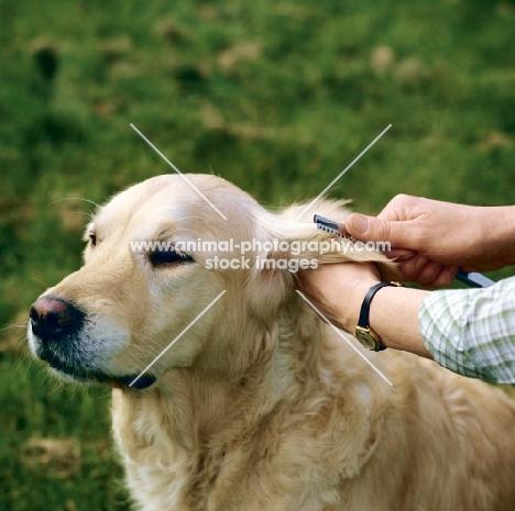 thinning the hair on the ear of a golden retriever