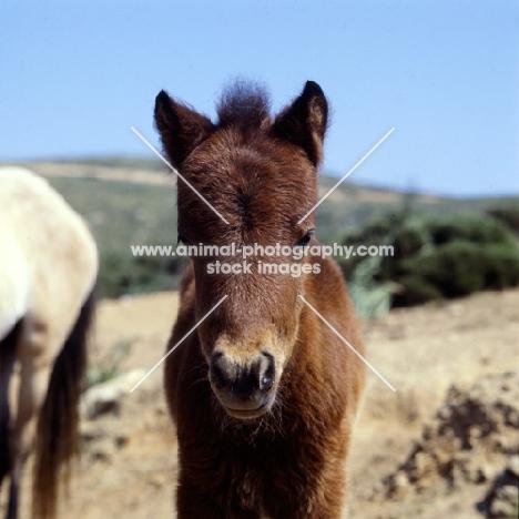 skyros foal portrait