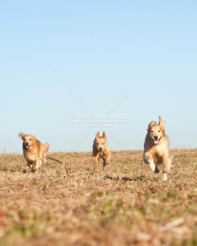 three Golden retrievers running