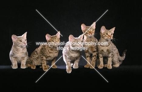 five Ocicat kittens