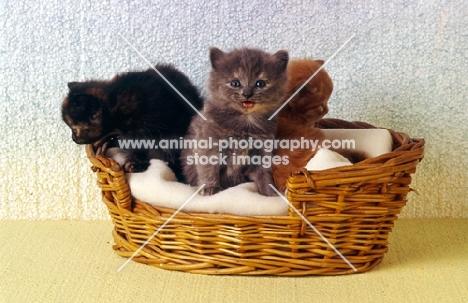 three kittens, blue tortoiseshell, tortoiseshell meowing, red tabby
