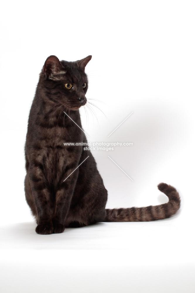 black spotted Safari cat, sitting down